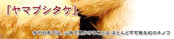 今や日本では、山中で見かけることは ほとんど不可能な幻のキノコ「ヤマブシタケ」